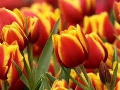 fiori_tulipano_g.jpg